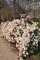 Clematis 'Apple Blossom' in the Jardin des Plantes de Paris 005.JPG