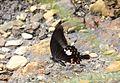Close wing position of Papilio helenus Linnaeus, 1758 – Red Helen WLB DSC 8543.jpg