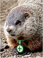 Closeup groundhog GA.JPG