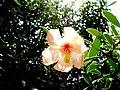 Clusia arborea (Clusiaceae).jpg