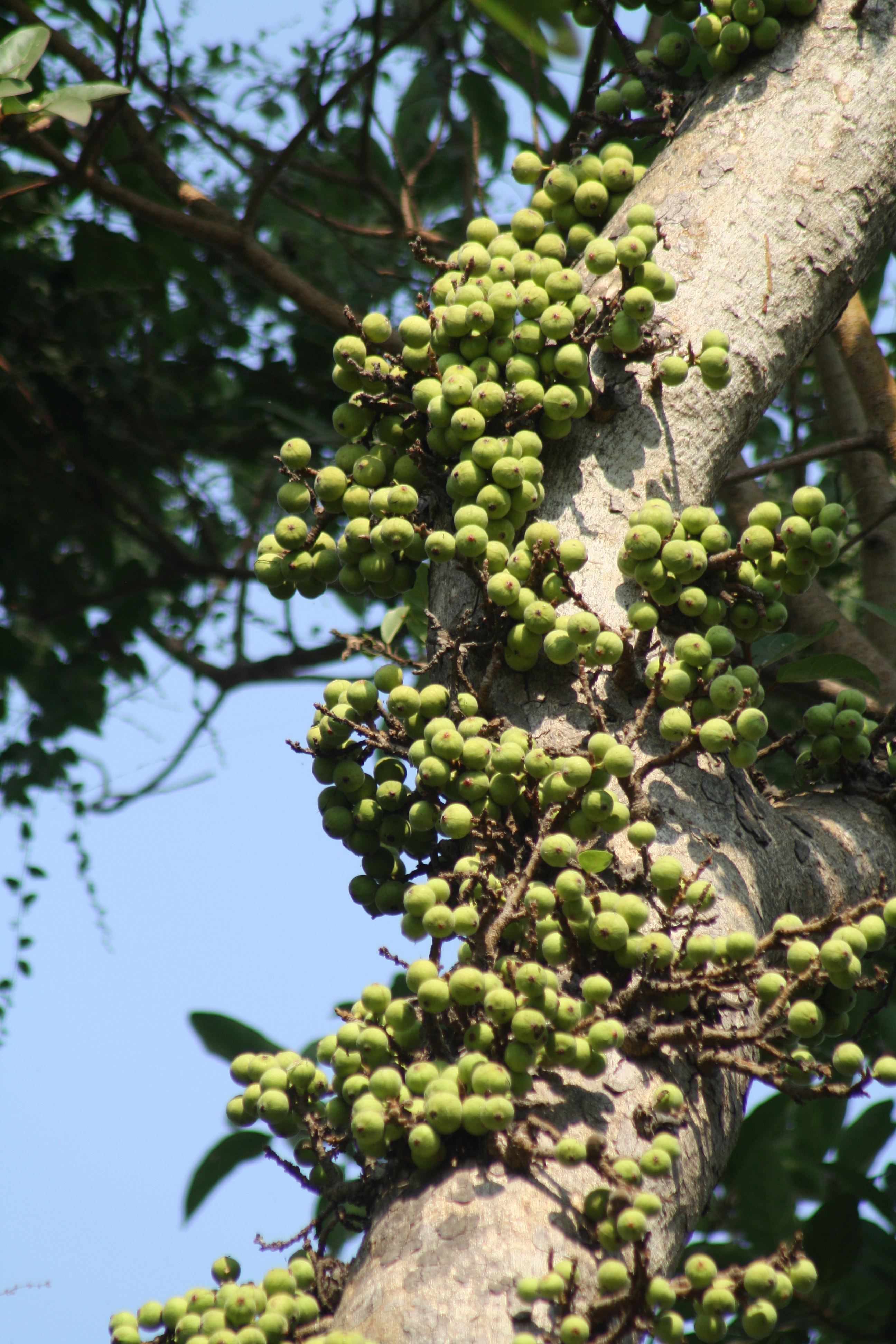 File:Cluster Fig Ficus glomerata by Dr  Raju Kasambe IMG
