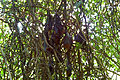 Cluster of heat-stressed grey-headed flying foxes.jpg
