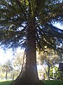 Coast Redwood.jpg