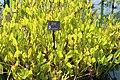 Coastal Georgia Botanical Gardens, Pickleweed Pontederia cordata.jpg