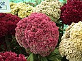 Cockscomb from Lalbagh flower show Aug 2013 8444.JPG
