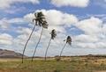Coconut trees in Boa Vista, Cape Verde, December 2010.tif