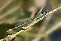 Coenagrion pulchellum 4(loz).jpg