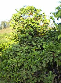 Coffee tree chary