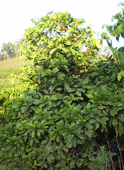 Coffee tree chary.jpg