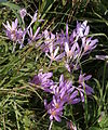 Colchicum autumnale group.JPG