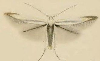 Coleophora ibipennella - Image: Coleophora ibipennella