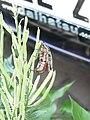 Coleoptera 1280202.JPG