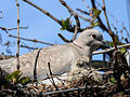 Collared Dove (1).jpg