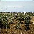 Collectie Nationaal Museum van Wereldculturen TM-20029714 Landarbeiders tussen tomatenplanten op Plantage Aruba Bonaire Boy Lawson (Fotograaf).jpg