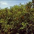 Collectie Nationaal Museum van Wereldculturen TM-20029717 Paprikaplant op Plantage Aruba Bonaire Boy Lawson (Fotograaf).jpg