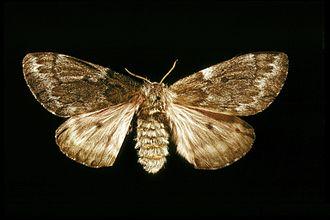 Pandora moth - Female