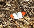 Colotis annae subsp annae, Potlake-natuurreservaat, a.jpg