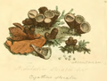 Coloured Figures of English Fungi or Mushrooms - t. 29.png