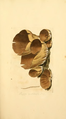 Coloured Figures of English Fungi or Mushrooms - t. 5.png