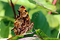Comma (Polygonia c-album) underside.jpg