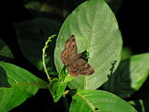 Common-small-flat-or-sarangesa-dasahara-from-Koovery.jpg