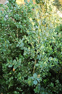 Common Boxwood Buxus sempervirens 'Vardar Valley' Plant 2000px.JPG