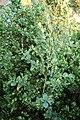 Common Boxwood Buxus sempervirens 'Vardar Valley' Plant 2000px.JPG