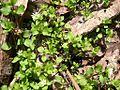 Common Chickweed (Stellaria media) along West Overlook Trail - Flickr - Jay Sturner.jpg