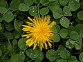 Common Dandelion (Taraxacum officinale) and White Clover (Trifolium repens) (10617162044).jpg