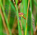 Common Darter at Three Sisters - geograph.org.uk - 918185.jpg