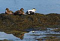 Common Eider Ducks (13926391828).jpg
