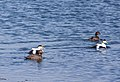 Common Eider Ducks (14089851116).jpg