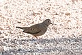 Common Ground-Dove Leslie Canyon NWR Douglas AZ 2017-10-15 09-31-25 (37709649572).jpg