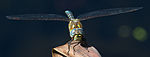 Common Hawker Dragonfly 10 (6083396542).jpg