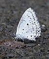 Common Hedge Blue Acytolepis puspa by Dr. Raju Kasambe DSCN1629 (1).jpg