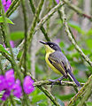 Common Tody Flycatcher.jpg