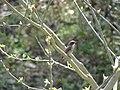 Common Woodshrike - Tephrodornis pondicerianus - DSC01059.jpg