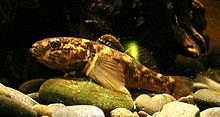 Common bully, Gobiomorphus cotidianus.jpg