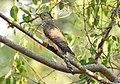 Common hawk cuckoo (Hierococcyx varius) 5.jpg