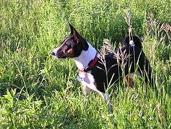 Dogs of Basenji