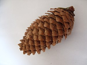 Conifer cone - 02.jpeg