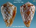 Conus saragasae 1.jpg