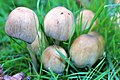 Coprinellus micaceus - 2.jpg
