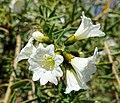Cordia decandra - Mildred E. Mathias Botanical Garden - University of California, Los Angeles - DSC02855.jpg