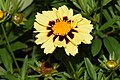 Coreopsis tinctoria cultivar Uptick Cream and Red 6.JPG