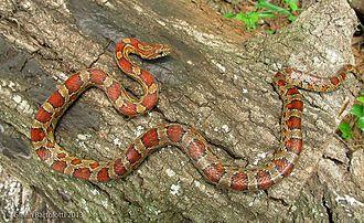 Corn snake - Young corn snake