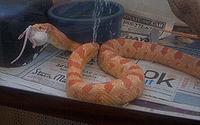 Serpente da esp�cie Pantherophis guttatus a engolir um rato