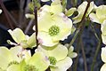 Cornus florida Cloud Nine 7zz.jpg