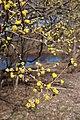 Cornus mas (Cornelian-Cherry) (32829909520).jpg