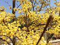 Cornus officinalis 6.jpg